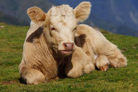 portugal agriculture: calf on the plateau Paul da Serra, Rabical, Madeira, Portugal Stock Photo