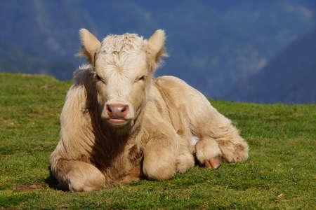 paul: calf on the plateau Paul da Serra, Rabical, Madeira, Portugal Stock Photo