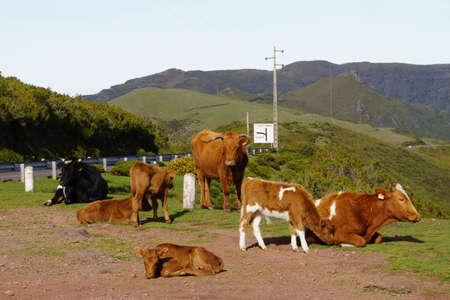 paul: cows on the plateau Paul da Serra, Rabical, Madeira, Portugal Stock Photo
