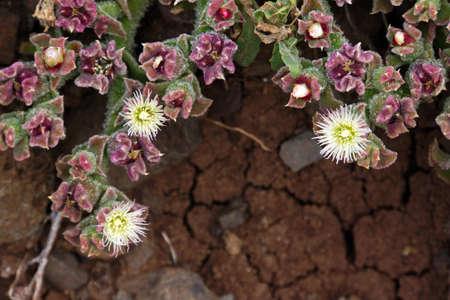 ice plant: Crystal Ice Plant Mesembryanthemum crystallinum
