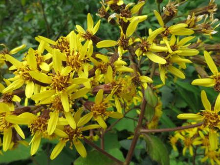petasites: Butterbur groundsel Senecio petasites, Funchal, Madeira, Portugal