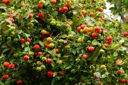 Surinam cherry Eugenia uniflora, also known as Pitanga or Eugenia, Funchal, Madeira, Portugal
