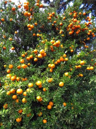 reticulata: Tangerine tree Citrus reticulata, Funchal, Madeira, Portugal