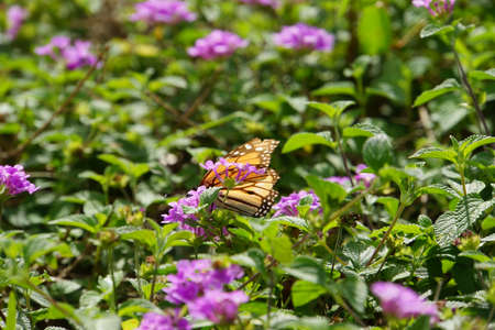 plexippus: Danaus plexippus - Monarch Butterfly, Madeira, Funchal, Portugal
