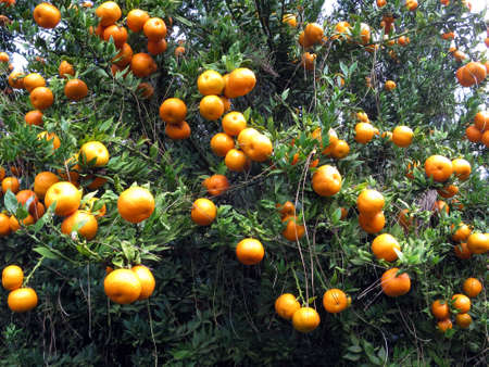 portugal agriculture: Tangerine tree Citrus reticulata, Funchal, Madeira, Portugal
