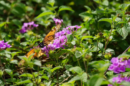 danaus: Danaus plexippus - Monarch Butterfly, Madeira, Funchal, Portugal