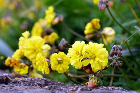 nodding: Nodding sorrel Oxalis pes-caprae with filled blossoms, Ponta do Pargo, Madeira, Portugal Stock Photo