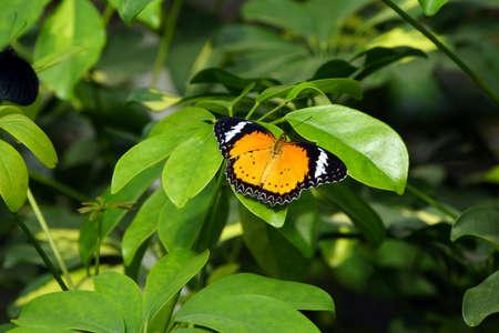 danaus: African Monarch (Danaus chrysippus)