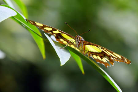 synonymous: Malachite butterfly (Siproeta stelenes synonym Metamorpha stelenes) Stock Photo