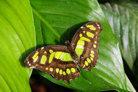 malachite: Malachite butterfly (Siproeta stelenes synonym Metamorpha stelenes) Stock Photo