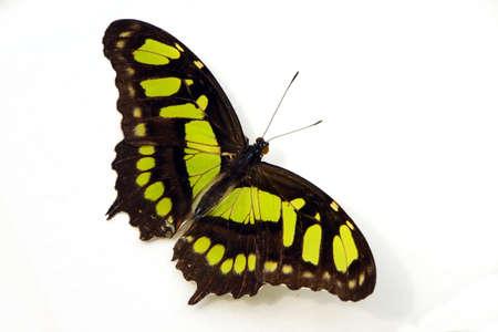 synonym: Malachite butterfly (Siproeta stelenes synonym Metamorpha stelenes) Stock Photo
