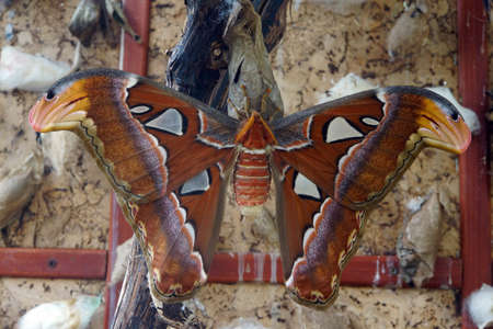 atlas: female Atlas spinner (Attacus atlas)