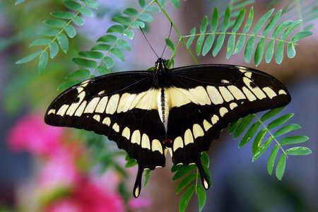 dovetail: Papilio thoas Stock Photo