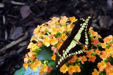 dovetail: (Papilio thoas)
