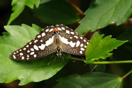 checkered Dovetail -Papilio demoleus