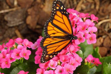 danaus: Monarch butterfly, Monarch - Danaus plexippus