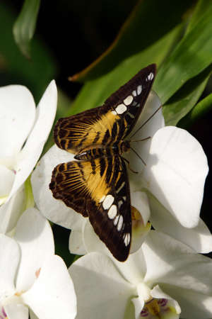 synonymous: Parthenos sylvia (synonym Papilio sylvia), also blue or brown sails falter