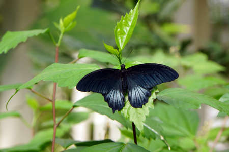 papilio: Great Mormon butterfly - Papilio memnon Stock Photo