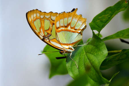 synonym: Bottom of Malachite butterfly (Siproeta stelenes synonym Metamorpha stelenes)