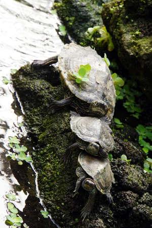 trio: turtles Trio Stock Photo