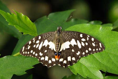 dovetail: checkered Dovetail -Papilio demoleus
