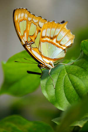 synonymous: Bottom of Malachite butterfly (Siproeta stelenes synonym Metamorpha stelenes)