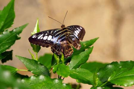 synonym: Parthenos sylvia (synonym Papilio sylvia), so Blue or Brown sailing falter