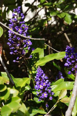 panicle: Blue Ginger (Dichorisandra thyrsiflora), Funchal, Madeira, Portugal Stock Photo