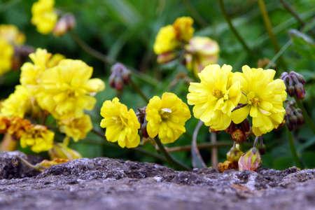nodding: Nodding sorrel (Oxalis pes-caprae) with gef�llten blossoms, Ponta do Pargo, Madeira, Portugal