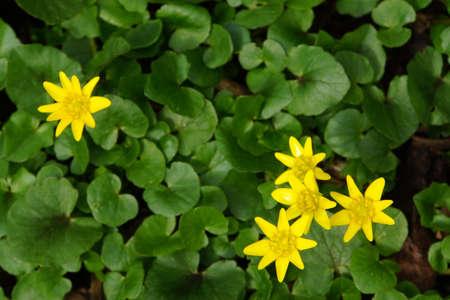 lesser: lesser celandine (Ficaria verna)