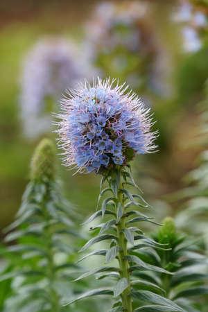 echium: Echium nervosum, Canico, Madeira, Portugal