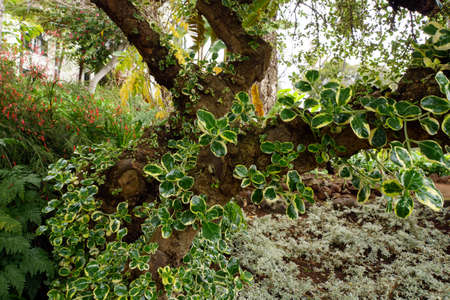 pflanze: Taupata (Coprosma repens) - young shoots on the trunk, Funchal, Madeira, Portugal