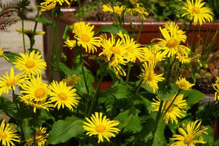 spec: Blossoms of Gamswurz (Doronicum spec.)