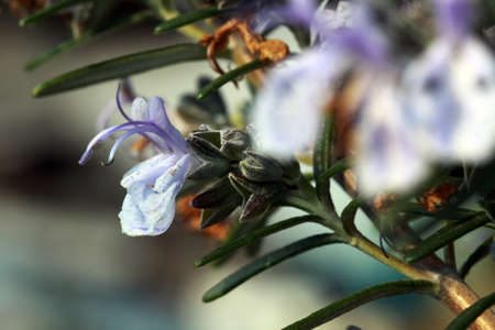 thymus: Thyme (Thymus vulgaris)
