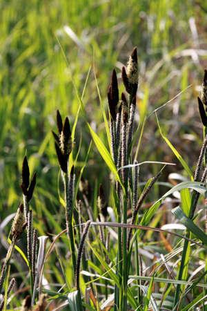 carex: Sedge (Carex spp.)