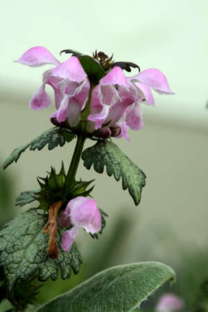beacons: Dead nettle (Lamium maculatum Beacons Silver) Stock Photo