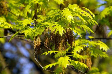 quercus: Bloom of red oak (Quercus rubra), Duesseldorf, Nordrhein-Westfalen, Germany Stock Photo
