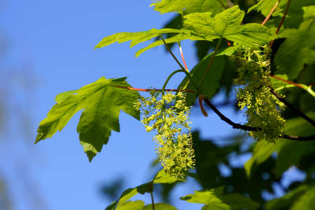 sicomoro: Bloom di sicomoro (Acer pseudoplatanus), D? Sseldorf, Nordrhein-Westfalen, Germania