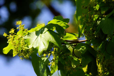 acer: Bloom of field maple (Acer campestre), also Massholder, Duesseldorf, Nordrhein-Westfalen, Germany Stock Photo