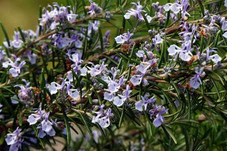 tomillo: El tomillo (Thymus vulgaris), tomillo silvestre Foto de archivo