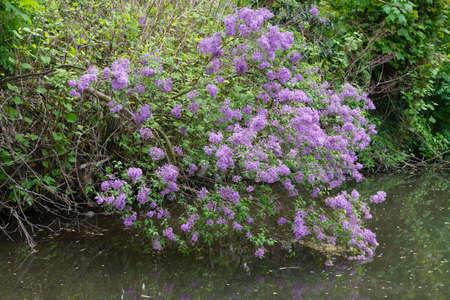 nodding: nodding lilac (Syringa komarowii), D?sseldorf, Nordrhein-Westfalen, Germany