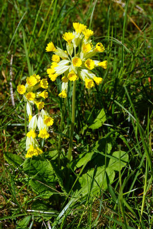 primula veris: Cowslip (Primula veris), Mechernich-Berg, North Rhine-Westphalia, Germany Stock Photo
