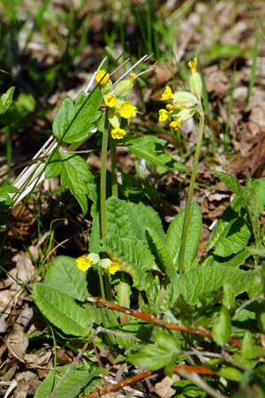 primula veris: Primula veris, Mechernich-Berg, North Rhine-Westphalia, Germany Stock Photo
