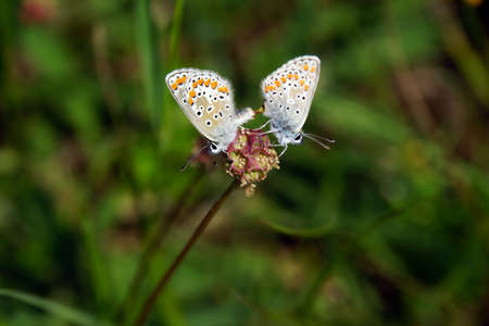 sanguisorba: gossamer-winged butterfly in mating on a small burnet, Mechernich- Berg, North Rhine-Westphalia, Germany
