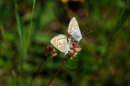 sanguisorba: butterflies gossamer-winged when mating on a small burnet, Mechernich- Berg, North Rhine-Westphalia, Germany