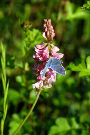 nahaufnahme: Saat-Esparsette, Esper (Onobrychis viciaefolia), Mechernich-Berg, Nordrhein-Westfalen, Deutschland Stock Photo