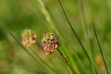 blte: Kleiner Wiesenknopf (Poterium sanguisorba, Sanguisorba minor), Mechernich-Berg, Nordrhein-Westfalen, Deutschland