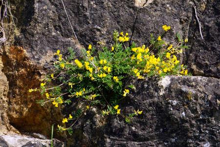 gelb: Schopf-Hufeisenklee (Hippocrepis comosa), Mechernich-Berg, Nordrhein-Westfalen, Deutschland