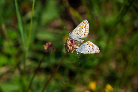 sanguisorba: chalk-blue during mating on a small burnet, Mechernich- Berg, North Rhine-Westphalia, Germany Stock Photo