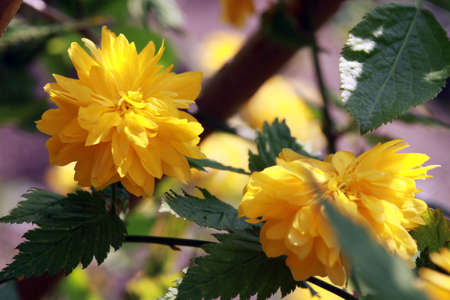 japonica: Japanese Kerria (Kerria japonica Pleniflora)